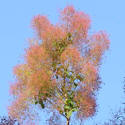 smoke tree, smoke bush, smoketree, smokebush, cotinus obovatus